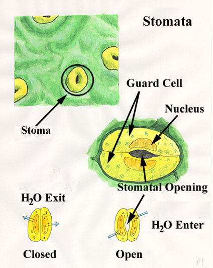 Plants , 6 Plant Stomata Structure Pictures : Structure Stomata