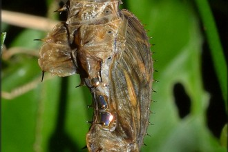 The Zebra Longwing Chrysalis , 7 Zebra Longwing Chrysalis In Butterfly Category