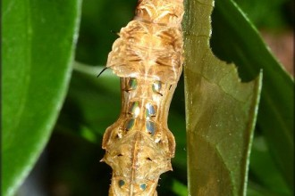 The Zebra Longwing Pupa , 7 Zebra Longwing Chrysalis In Butterfly Category