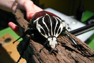 The Big Goliath Beetle , 6 Goliath Beetle Facts In Beetles Category
