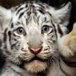 tiger cubs , 6 Snow Tigers Facts In Mammalia Category