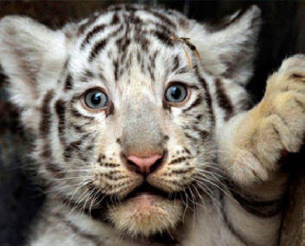 Mammalia , 6 Snow Tigers Facts : Tiger Cubs