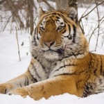 tiger snow portrait , 6 Snow Tigers Facts In Mammalia Category