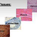 tissue in the human body types , 7 Tissue Pictures In The Human Body In Cell Category