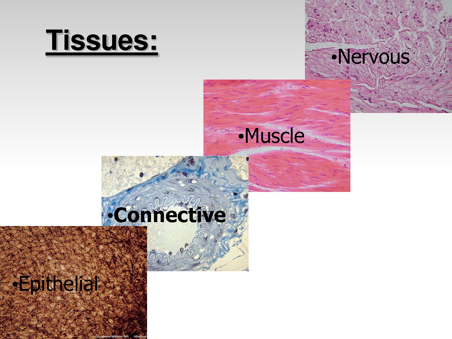 tissue types in the human body The four basic types of tissue in the human body are connective, epithelial, muscular, and nervous.