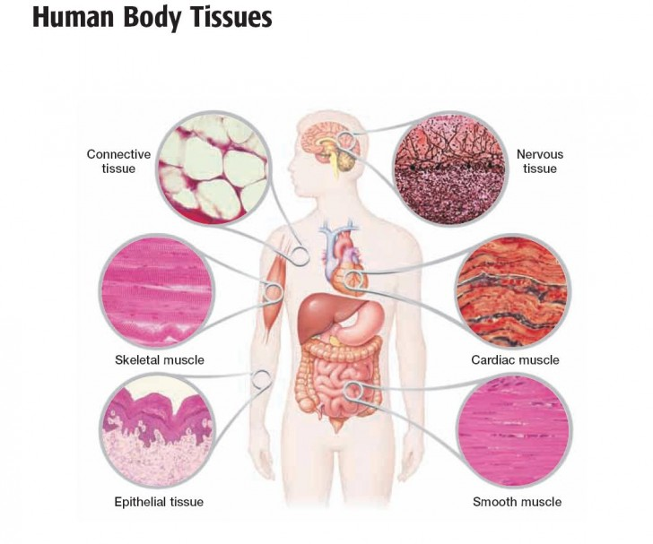 Cell , 6 Cells Tissues : Tissues And Epithelial