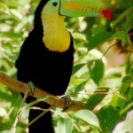 toucan facts for kids , 6 Toucan Facts For Kids In Birds Category