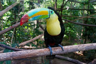 toucans facts photos in Dog