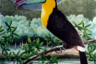 toucans facts photos in Birds