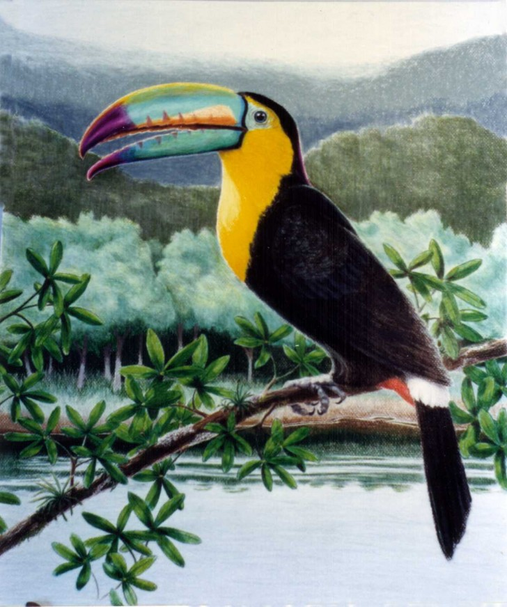Birds , 6 Toucan Facts For Kids :  Toucans Facts Photos