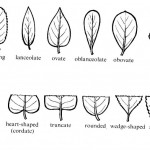 tree leaf shapes , 3 British Tree Leaf Identification Keys In Plants Category