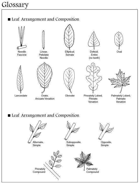 Tree Dichotomous Key tree leaves identification : 7 leaf tree id key ...