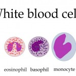 types of white blood cells , 5 Types Of White Blood Cells Pictures In Cell Category