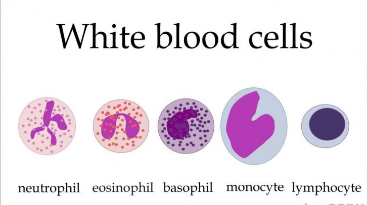 Cell , 5 Types Of White Blood Cells Pictures : Types Of White Blood Cells