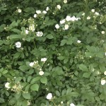 wild rose bush , 8 Pruning Wild Roses In Plants Category