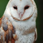 wildlife owl , 7 Owl Pictures In Birds Category