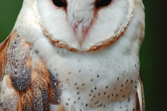 wildlife owl in pisces
