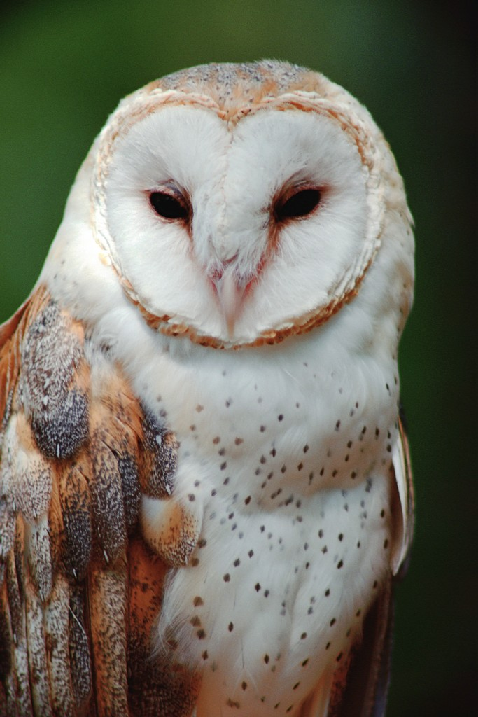 wildlife owl