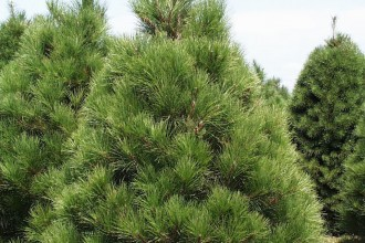 Xmas Pine Tree , 5 Pine Tree Photos In Plants Category