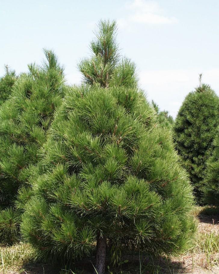 Plants , 5 Pine Tree Photos : Xmas Pine Tree