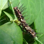zebra longwing butterfly caterpillar , 7 Zebra Longwing Butterfly Larvae In Butterfly Category