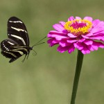 zebra longwing butterfly flight , 4 Zebra Longwing Butterfly Flight Pictures In Butterfly Category