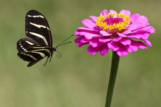 zebra longwing butterfly flight in Dog