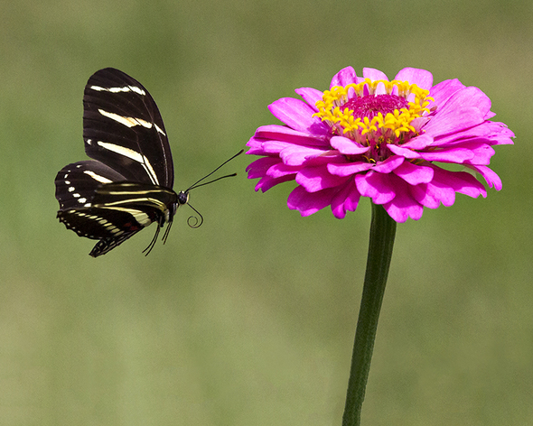 zebra longwing butterfly flight