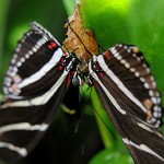zebra longwing butterfly mating , 8 Photos Of Zebra Longwing Butterfly Mating In Butterfly Category