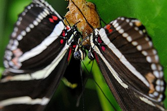 zebra longwing butterfly mating in Spider