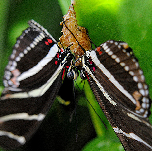 zebra longwing butterfly mating