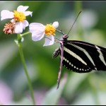 zebra longwings butterfly images , 4 Zebra Longwing Butterfly Flight Pictures In Butterfly Category