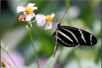 Zebra Longwings Butterfly Images , 4 Zebra Longwing Butterfly Flight Pictures In Butterfly Category