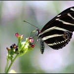 zebra longwings flight path , 4 Zebra Longwing Butterfly Flight Pictures In Butterfly Category