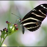 zebra longwings picture , 4 Zebra Longwing Butterfly Flight Pictures In Butterfly Category
