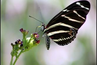 Zebra Longwings Picture , 4 Zebra Longwing Butterfly Flight Pictures In Butterfly Category