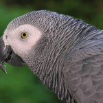 African Grey Parrot , 7 Good African Grey Parrot Facts In Birds Category