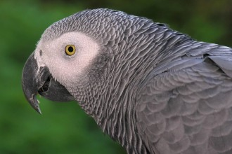 African Grey Parrot in Dog