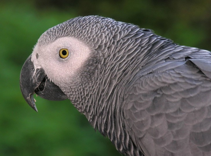 Birds , 7 Good African Grey Parrot Facts : African Grey Parrot