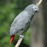 African Grey Parrot Bird , 7 Good African Grey Parrot Facts In Birds Category