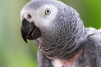 African Grey Parrot Facts , 7 Good African Grey Parrot Facts In Birds Category