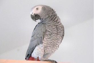 African Grey Parrots , 7 Good African Grey Parrot Facts In Birds Category