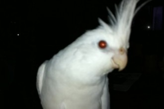 Albino Cockatiel in Cat