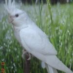 Albino Cockatiels , 7 Nice Cockatiel Prices In Birds Category