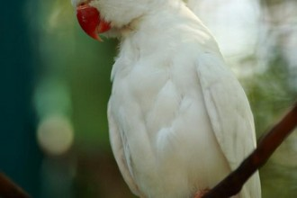 Albino Indian Ringneck Parakeet , 8 Nice Indian Ringneck Parrot In Birds Category