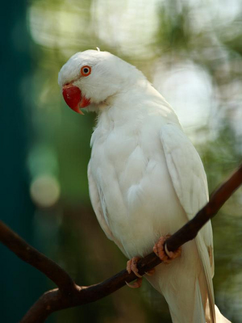Birds , 8 Nice Indian Ringneck Parrot : Albino Indian Ringneck Parakeet