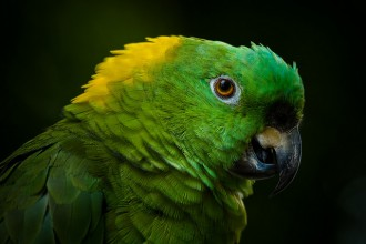 Amazon Parrot , 6 Wonderful Yellow Naped Amazon Parrot In Birds Category