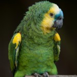 Amazon Parrot , 8 Nice Blue Fronted Amazon Parrot In Birds Category