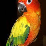 Aratinga solstitialis , 7 Beautiful Sun Conure Parrot In Birds Category