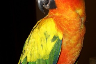 Birds , 7 Beautiful Sun Conure Parrot : Aratinga solstitialis